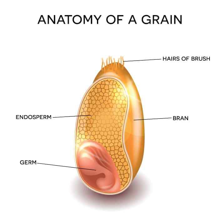 Grain anatomy. Cross section of a grain. Endosperm, germ, bran layer and hairs of brush.