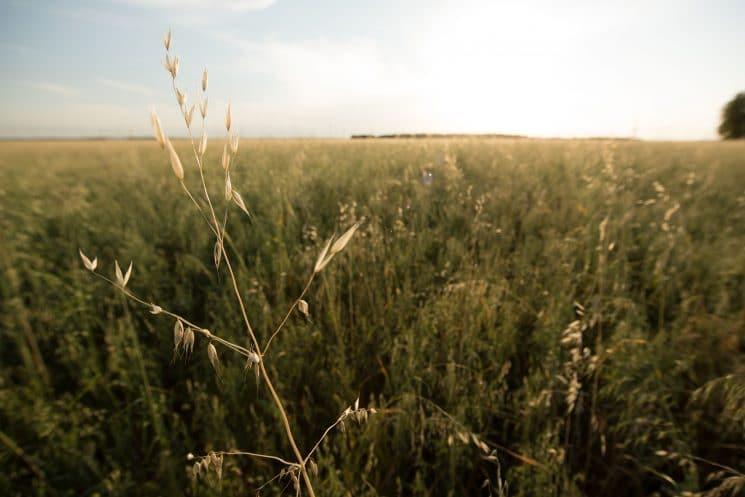 stalk of oats