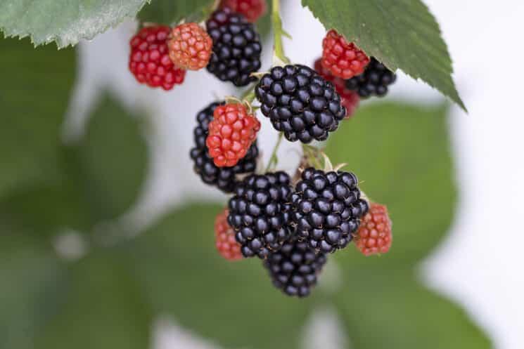 blackberries growing on a plant